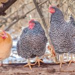Are Chickens Warmblooded or Coldblooded?