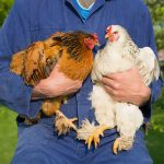 Chicken Math Explained - Calculating Your True Number of Chickens