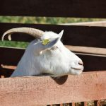 How Long Can Goats Be Left Alone - 9 Things to Consider