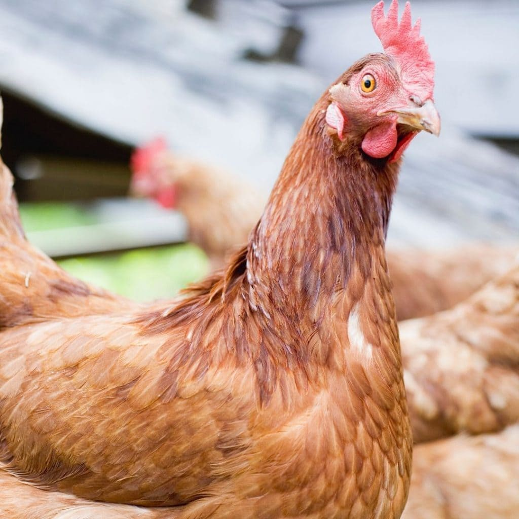 rhode island red hen that needs a good chicken name