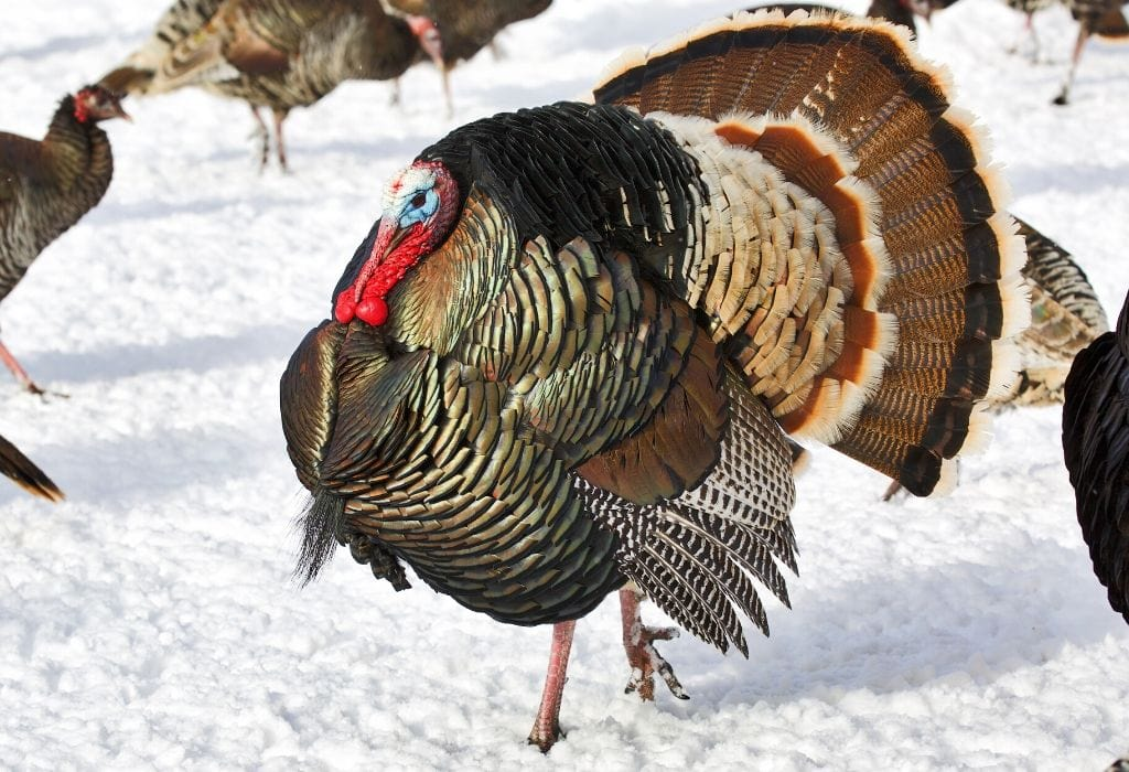 Turkeys in Winter – What They Eat and Where They Live