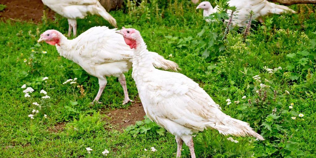 white turkeys that need a name
