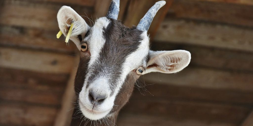 goat staring at camera