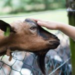 How Do Goats Show Affection? - 3 Scientifically Proven Ways