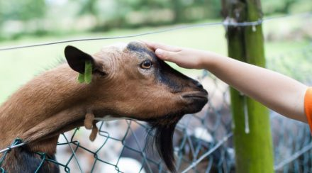 How Do Goats Show Affection? – 3 Scientifically Proven Ways