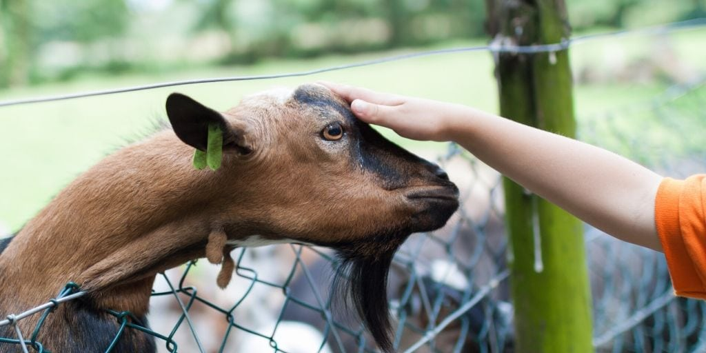 goat reaching over fence to get affection from person petting it