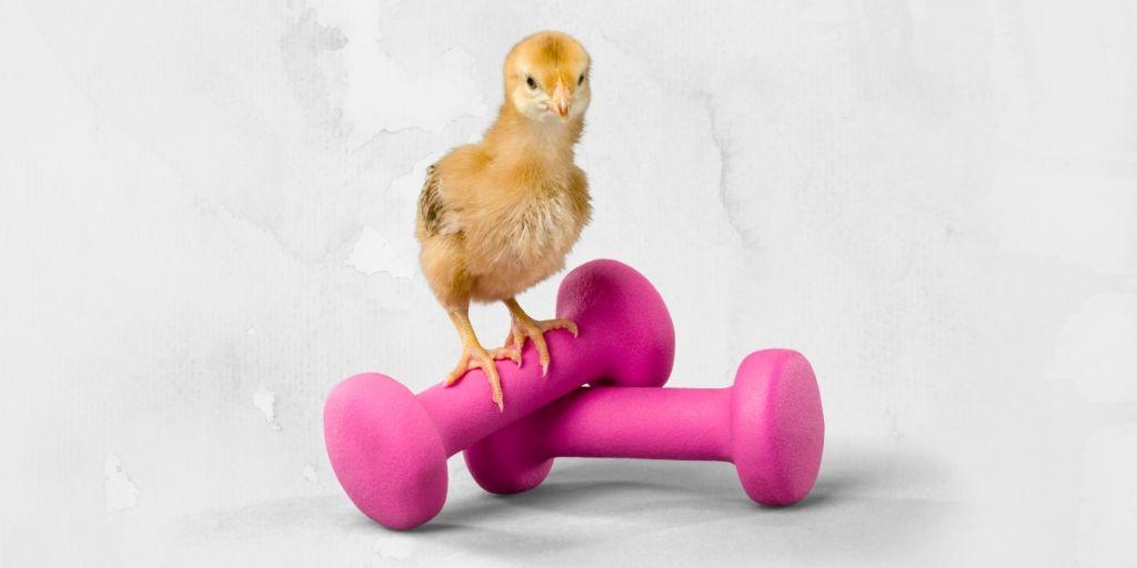 Weigh A Live Chicken