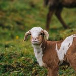 When To Wean Goats, What To Expect & Tips for Success