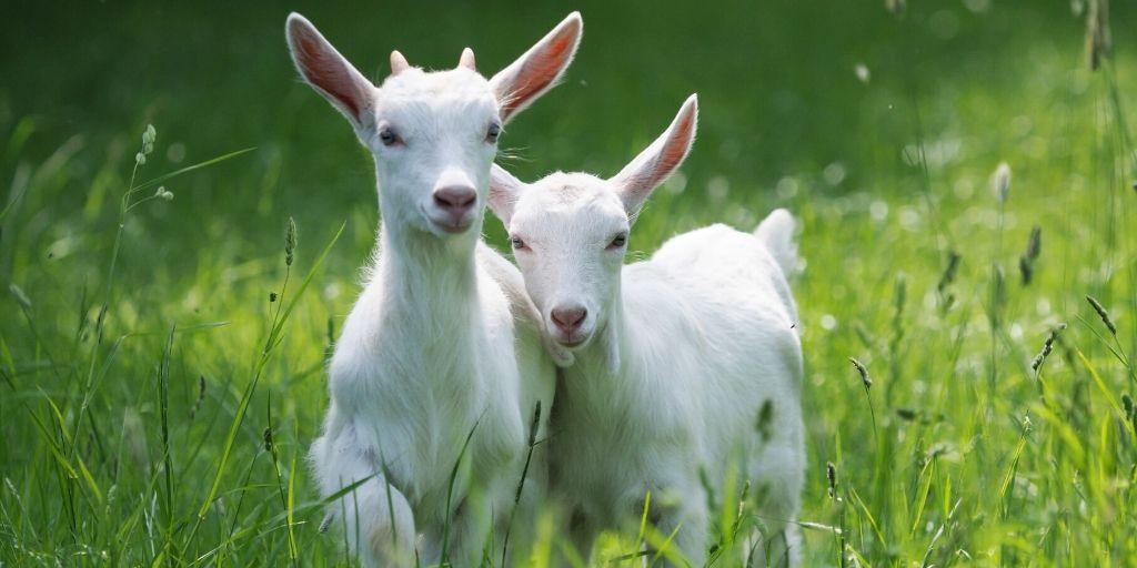 Two White Goat
