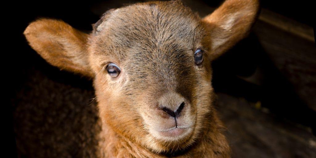Baby Brown Sheep