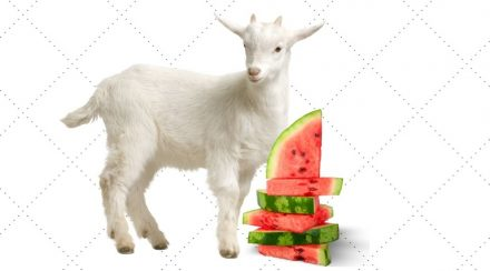 Can Goats Eat Watermelon?