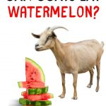 goat wants to eat a watermelon