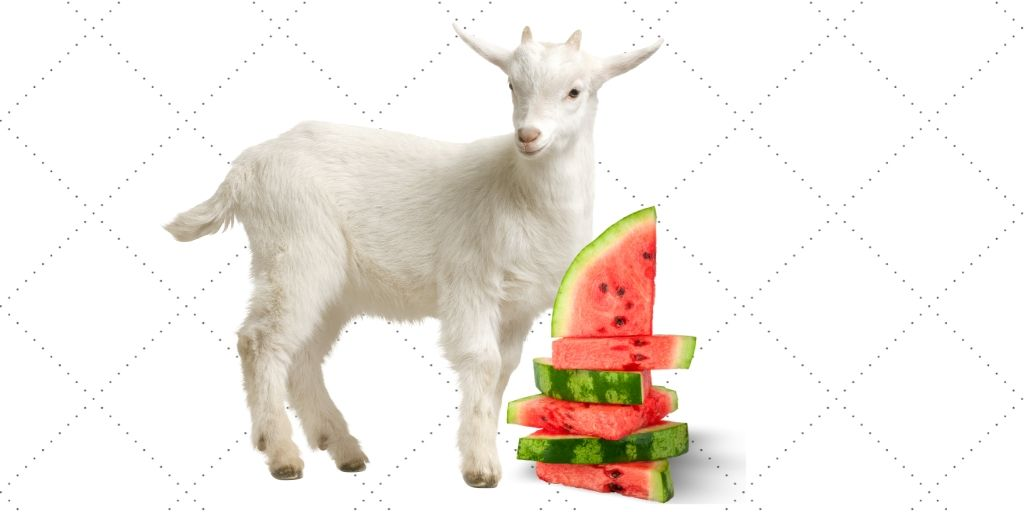 Goats And Watermelon