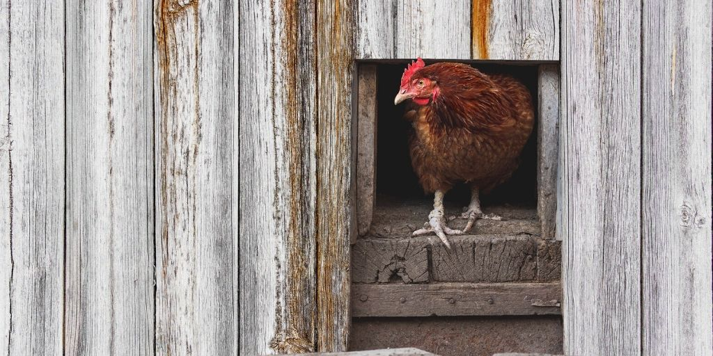 red chicken coming out of a chicken coop