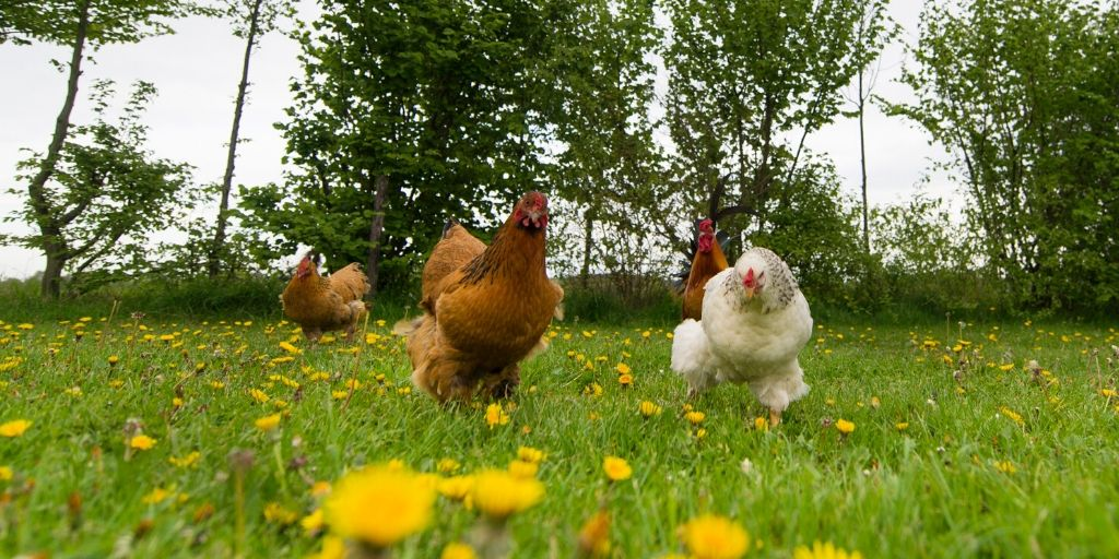funny chickens running that need a name for their chicken coop