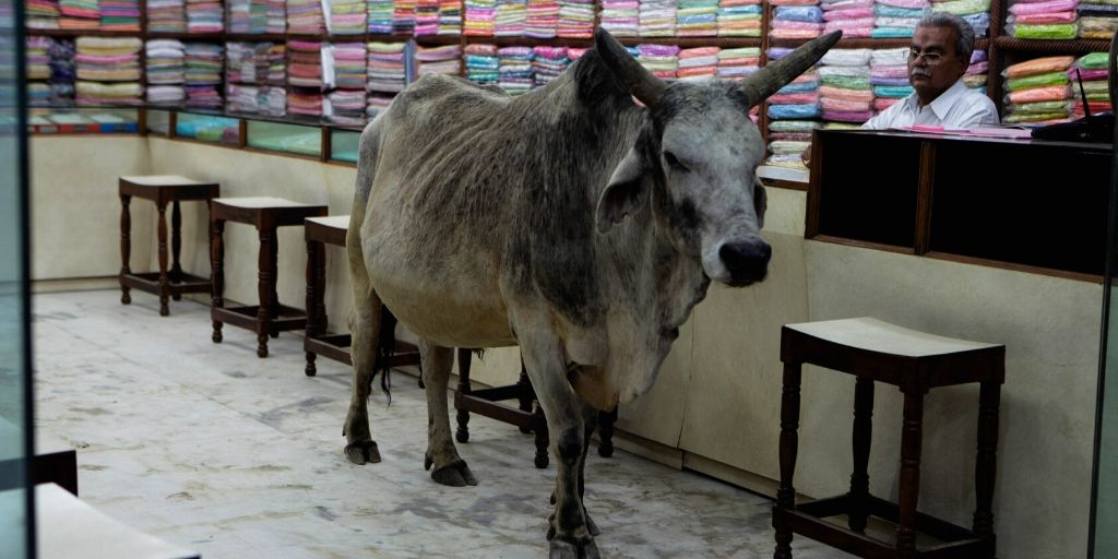 indian cow that needs a name