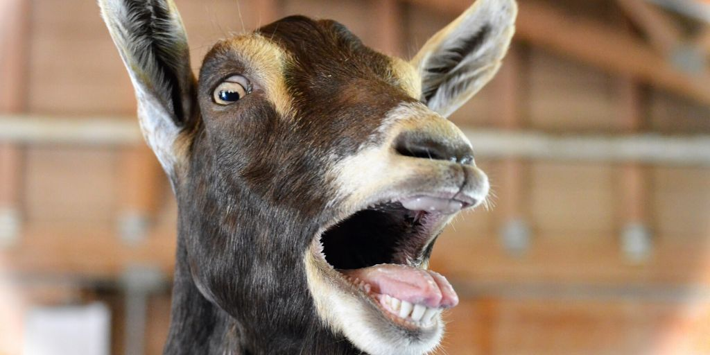 goat crying out for attention