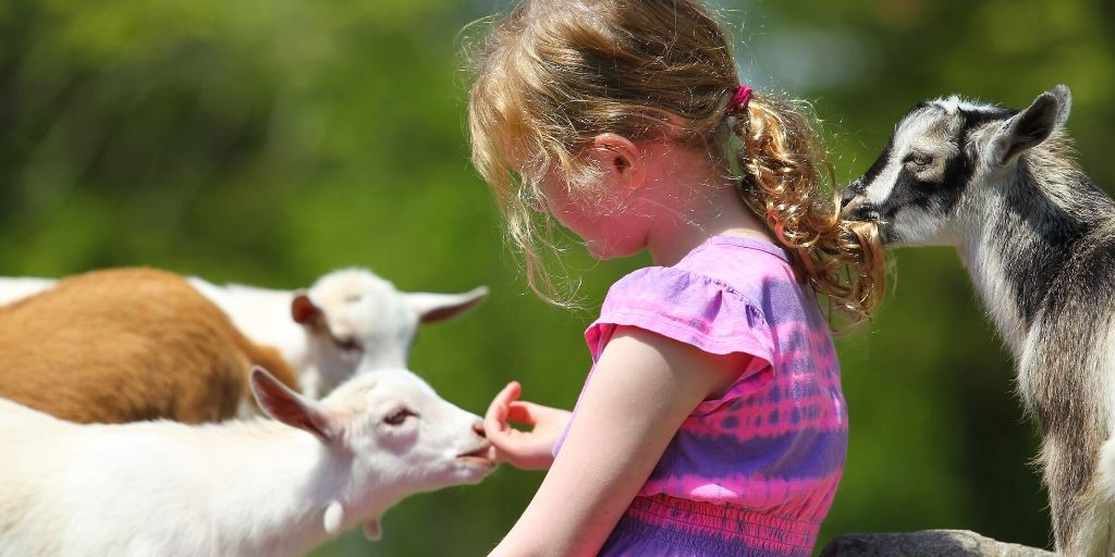 baby goat showing affection to young girl