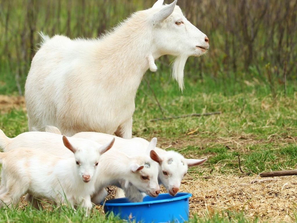 Mother Goat and 3 Baby Goat Eating