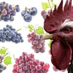 Can Chickens Eat Grapes? Nutrition & Treat Recipe