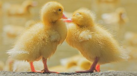 293+ Names for Your Pet Duck