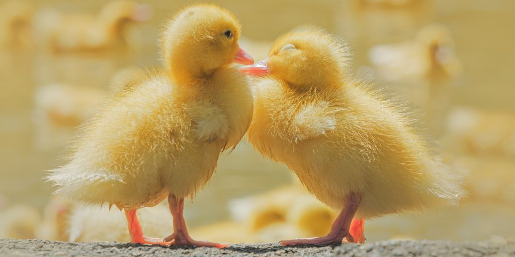 293 Names For Your Pet Duck Farmhouse Guide