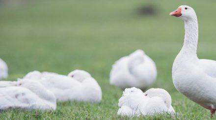 Where Do Geese Sleep? How Do They Sleep?