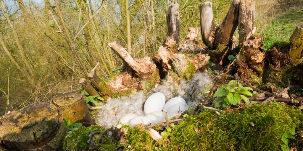 Goose Eggs in a Nest in the Wild