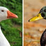 Are Geese Ducks? Geese vs. Ducks