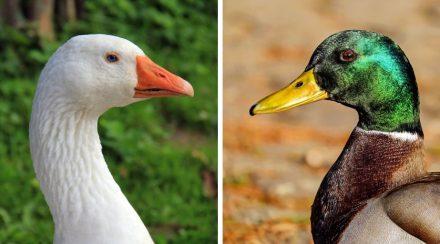 Are Geese Ducks? Geese vs. Ducks