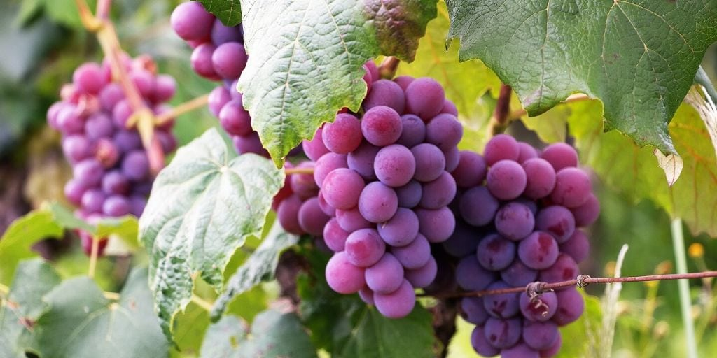 Grape Fruits, Vines and Leaves