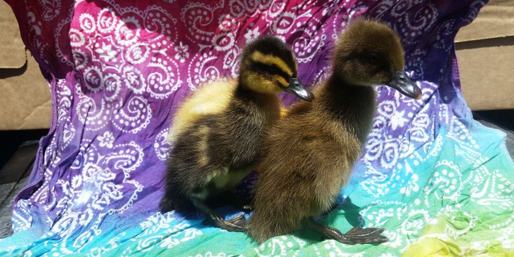 Cute Baby Ducks That Need a Name