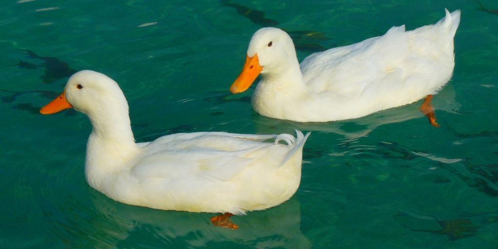 white ducks that need a name