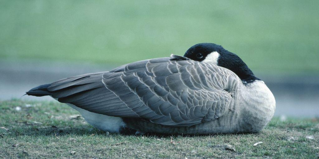 Geese Sleeping With Eye Open