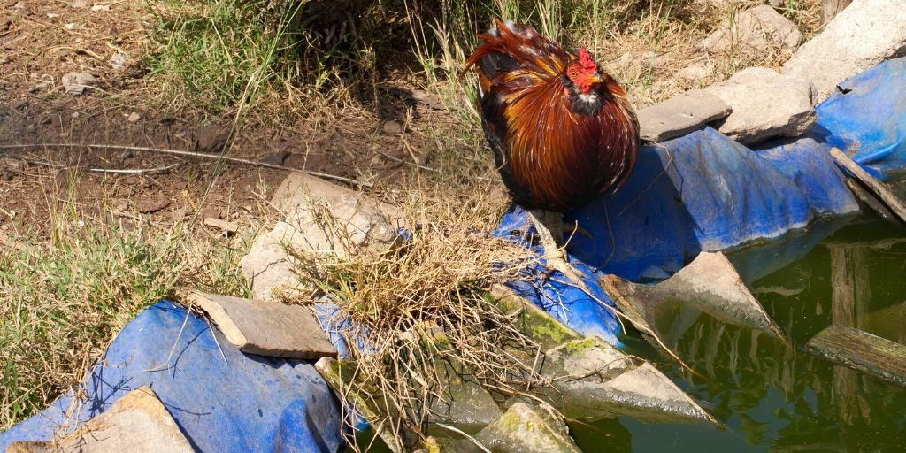 Chicken Near Water