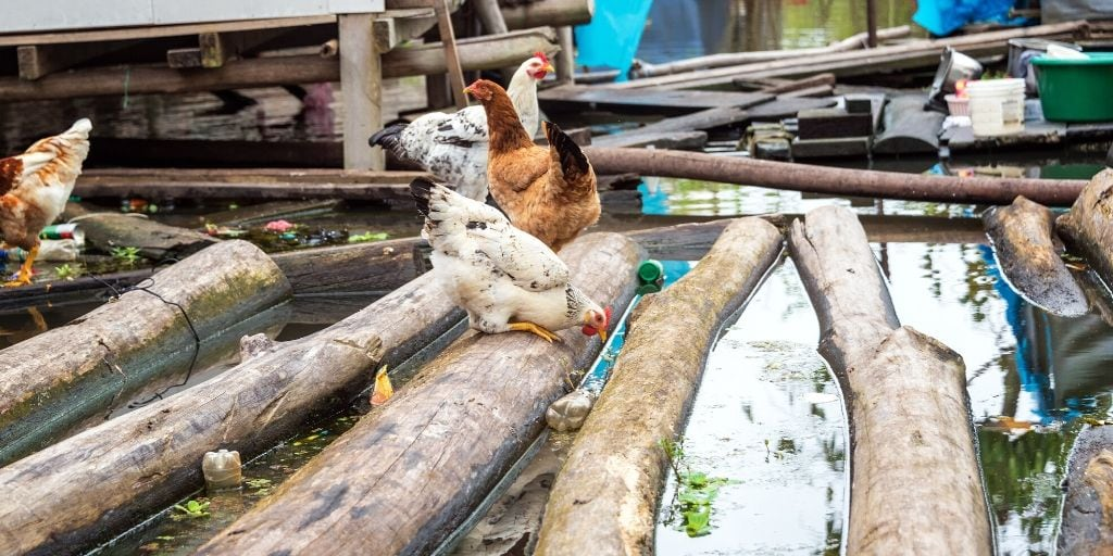Can Chickens Swim? Will they drown?