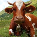 Why Do Cows Wear Bells?