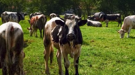 Why Do Cows Moo At Night?