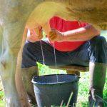 Do Cows Like Being Milked? Hand Milking vs. Machine Milking