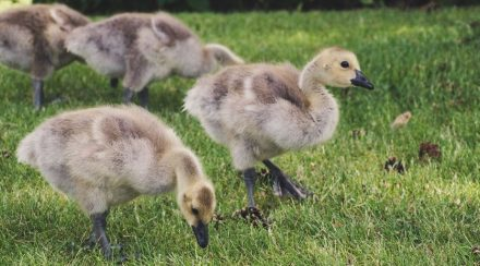 289+ Names for your Baby Goose