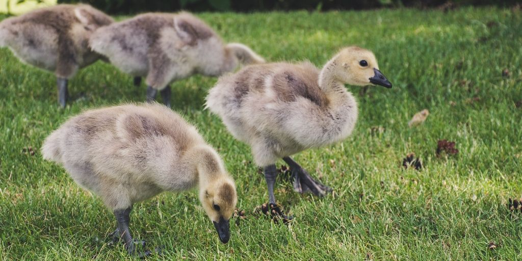 289 Names For Your Baby Goose Farmhouse Guide