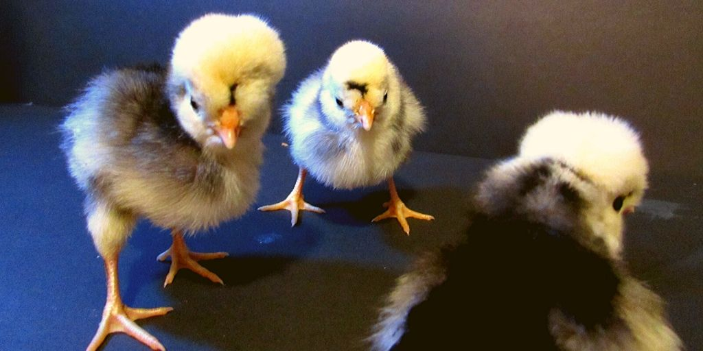 three black and white polish chicks who need names