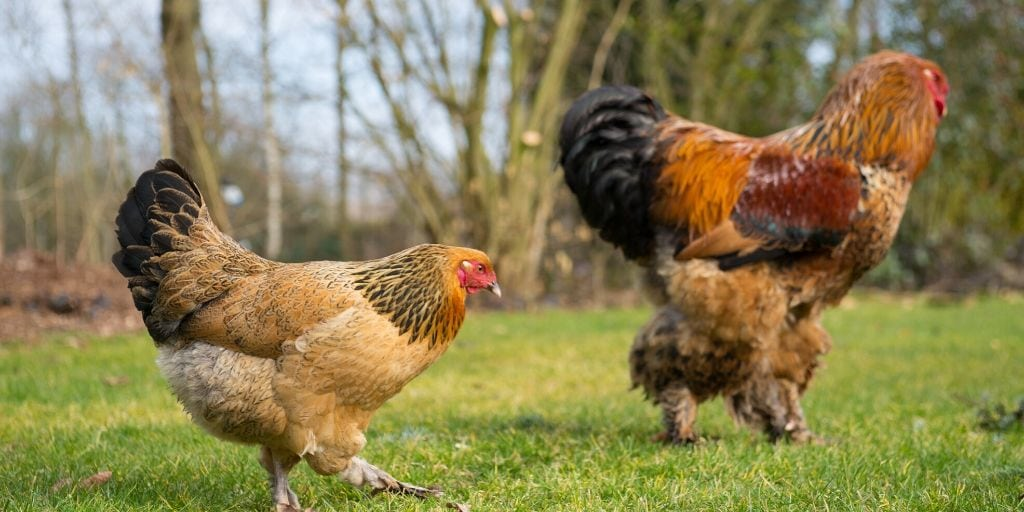buff brahma hen and rooster that both need good chicken names