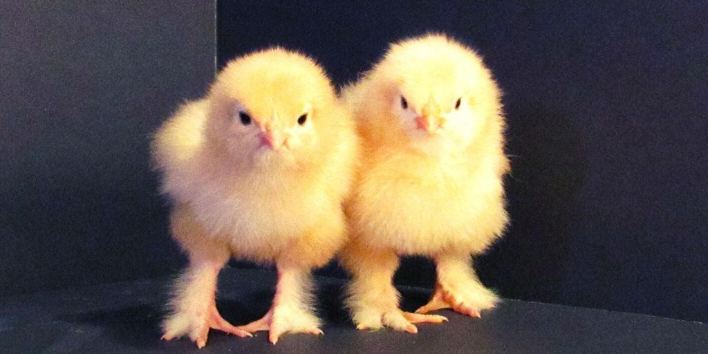 yellow baby cochin or brahma chicks who need a good chicken name