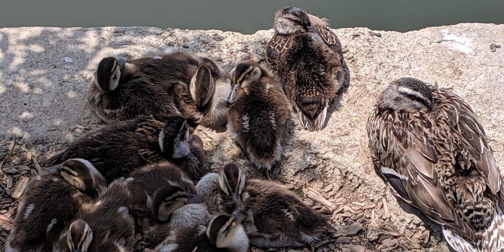Black and White Ducks Sleeping Near Water