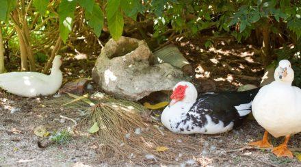 Where Do Ducks Sleep?