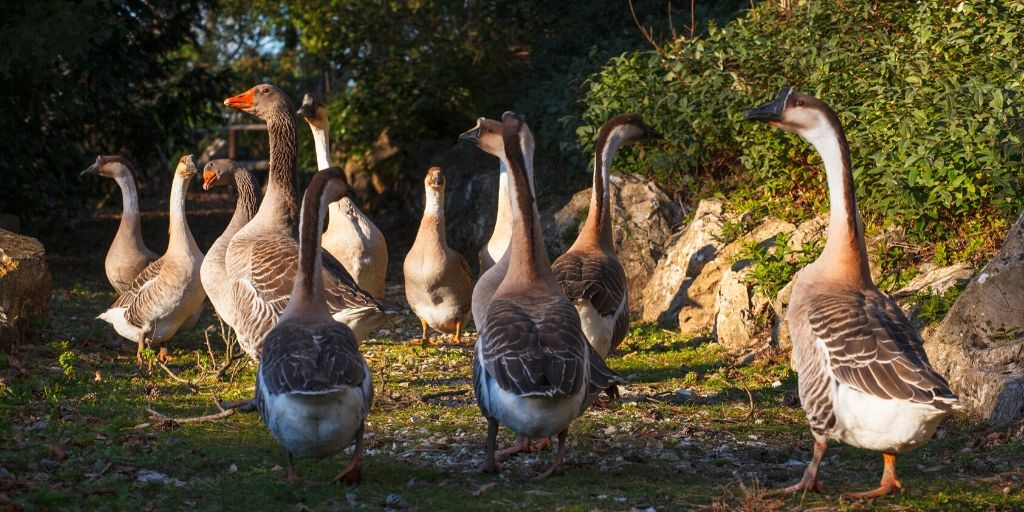 gray geese in a field