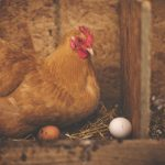 How Chickens Lay Eggs Without a Rooster