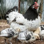 11 Beautiful Black and White Chicken Breeds