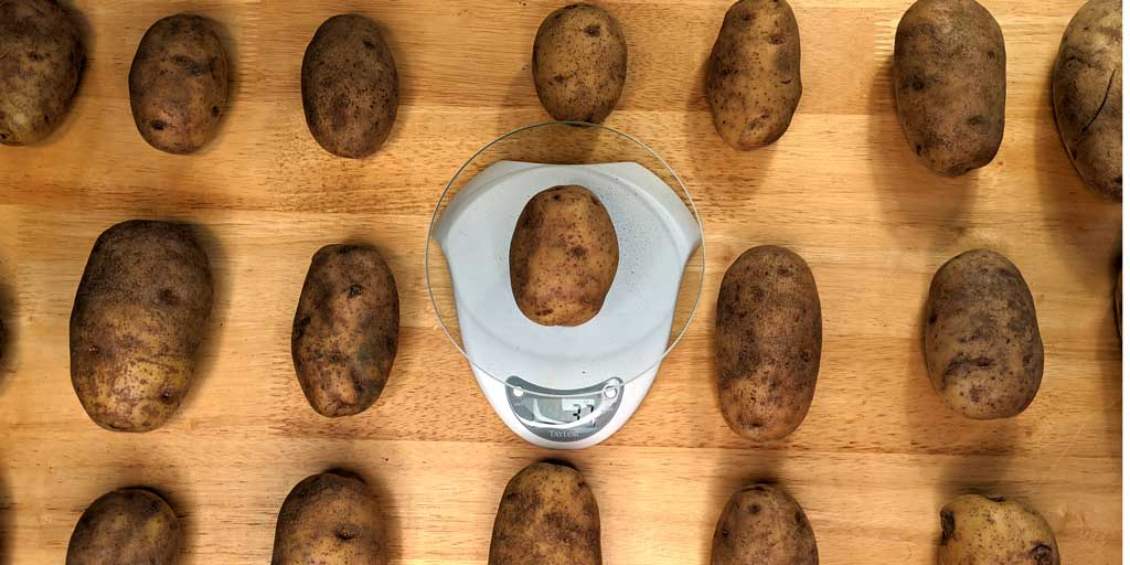 russet potatoes being weighed
